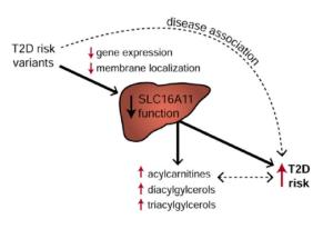 多能干细胞二型糖尿病模型 ——SLC16A11(-/-)1016单克隆细胞株