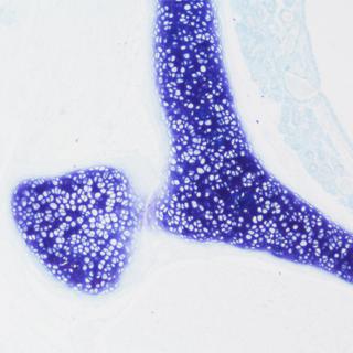 甲苯.胺蓝染色实验服务