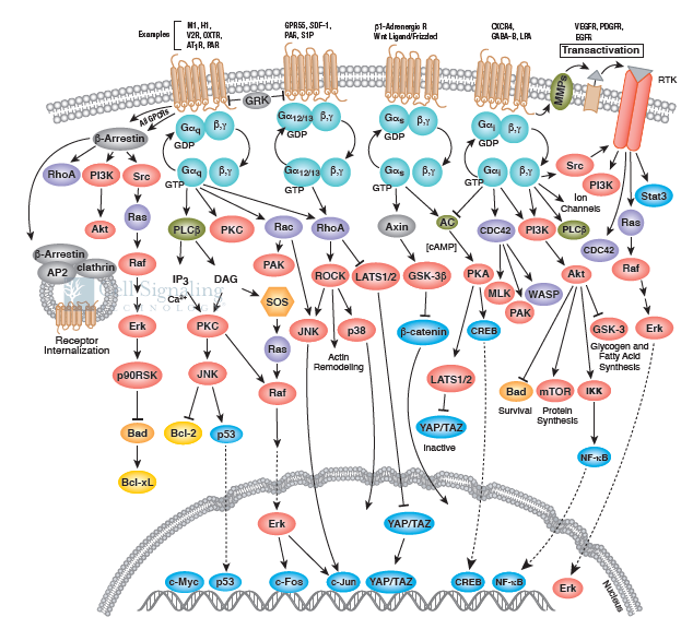 G-Protein Coupled Recept or Signaling Overview.png