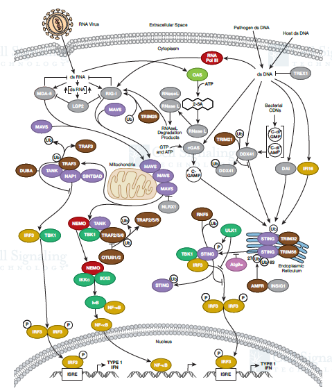 Cell Intrinsic Innate Immunity Signaling.png
