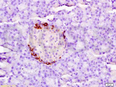 组织因子抗体
