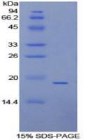 ANXA4重组蛋白