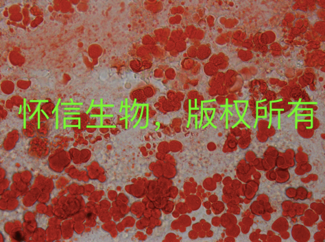 油红O染色