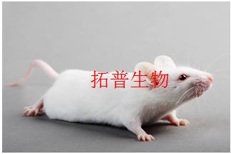 大鼠骨关节炎(OA)模型