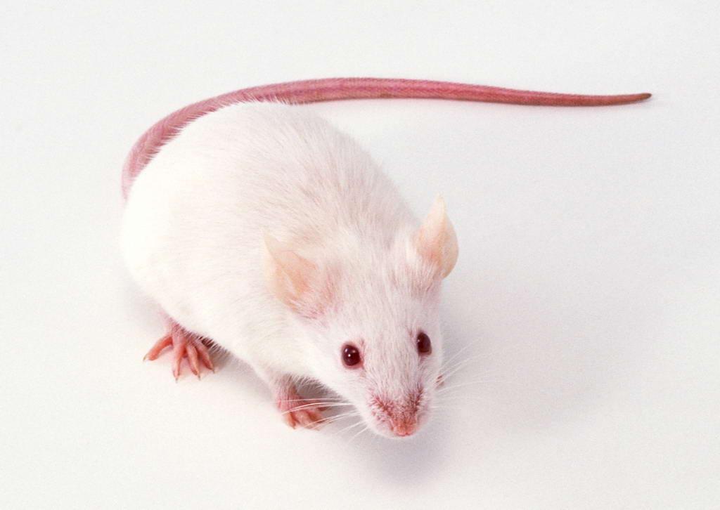 实验性自身免疫性脑脊髓炎模型