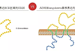 提供 Protocol:高活性全长 CD20 蛋白研发出来了