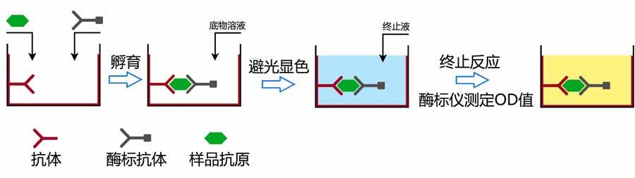 大鼠巨噬细胞替代激活相关化学因子1(AmAC-1)elisa酶联免疫试剂盒哪里有买