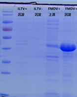 口蹄疫VP3蛋白