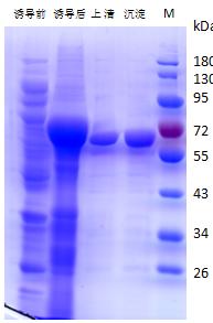 猪流感病毒NP蛋白