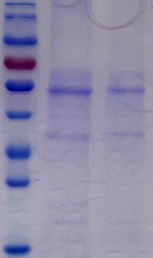 伪狂犬gE蛋白(哺乳动物细胞)