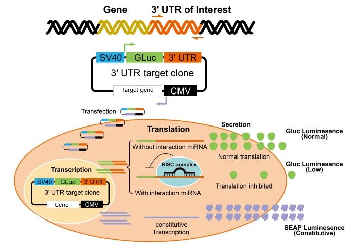 荧光素酶实验-启动子活性实验、miRNA-3UTR结合实验