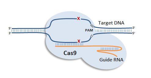 Crispr/cas9克隆质粒构建(定制)