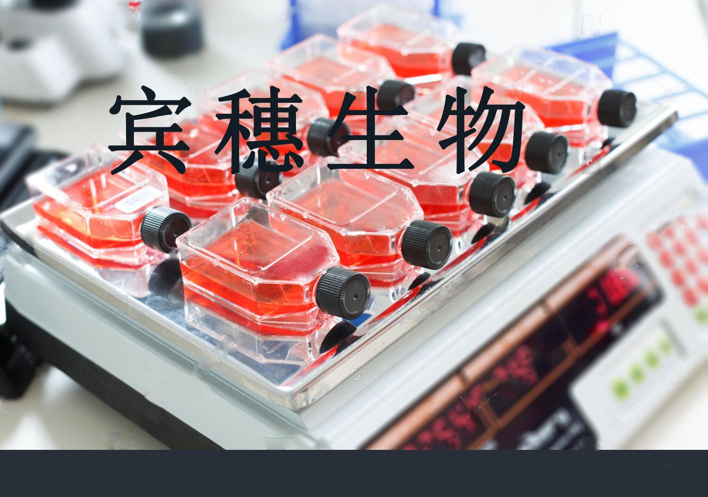 Capan-2细胞<人胰腺癌细胞>