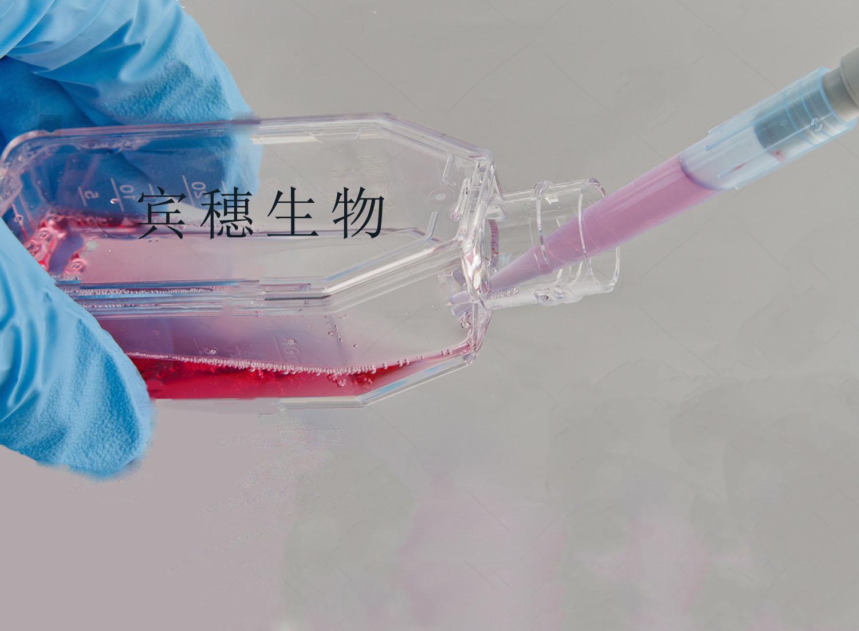 143B细胞<人骨肉瘤细胞>