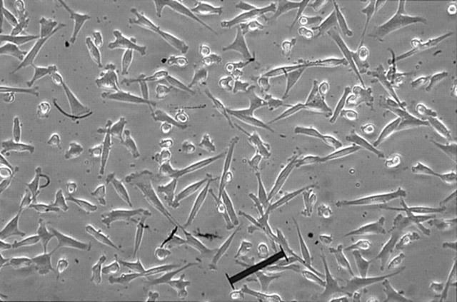 间充质干细胞(人或其他动物源)原代细胞