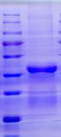猪瘟E2蛋白(哺乳动物细胞)