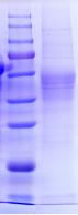 伪狂犬gE蛋白(杆状病毒)
