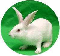 清洁级实验兔