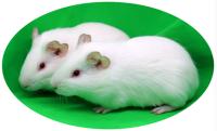 SPF级豚鼠