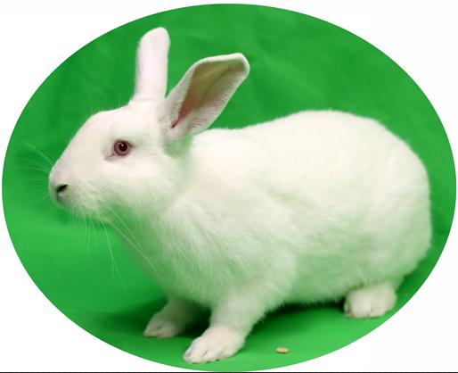 SPF实验兔