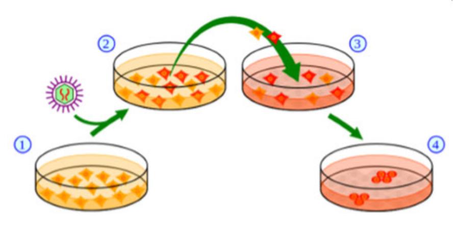 诱导多能干细胞细胞(iPSC)制备服务