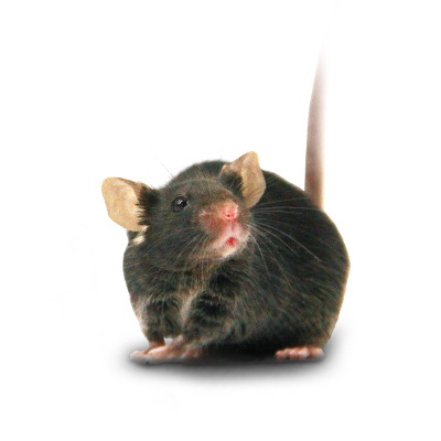 小鼠代繁殖服务
