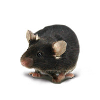 定制CRISPR基因敲除小鼠
