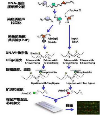 染色质免疫沉淀(CHIP)&qPCR鉴定——为您提供完整的彩票CHIP实验报告单