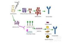 小鼠单克隆抗体制备服务(杂交瘤工厂,高通量筛选)