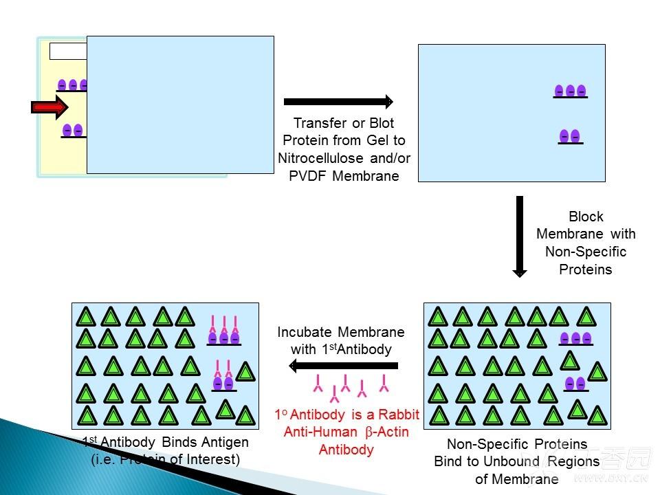 孵育抗体的原理_疫苗产生抗体的原理