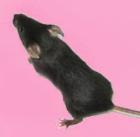 裸鼠肠道癌原位模型构建