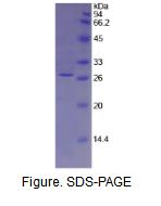 组织因子通道抑制因子2(TFPI2)活性蛋白