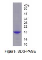 补体因子B(CFB)重组蛋白