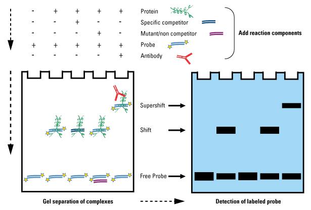 凝胶迁移或电泳迁移率实验EMSA