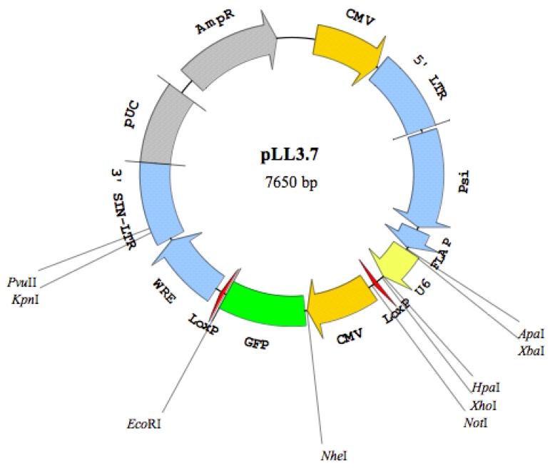 PLL3.7慢病毒shRNA干扰质粒