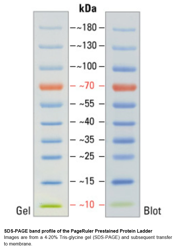 PageRuler™ Prestained Protein Ladder, 10 to 180 kDa 预染蛋白Marker