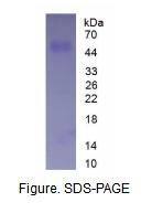 CD14分子(CD14)真核蛋白