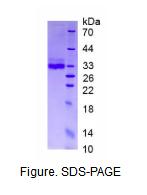 脂联素(ADPN)真核蛋白