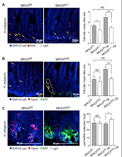 scRNA-seq与RNAscope技术揭示小肠干细胞与免疫细胞的相互作用1834.png