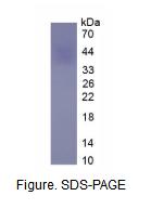 红细胞生成素(EPO)真核蛋白