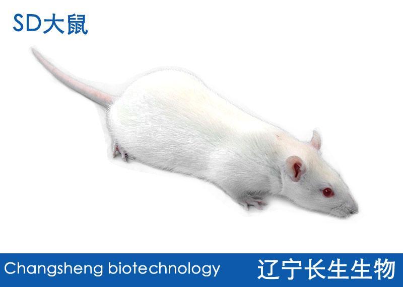 SD 大鼠