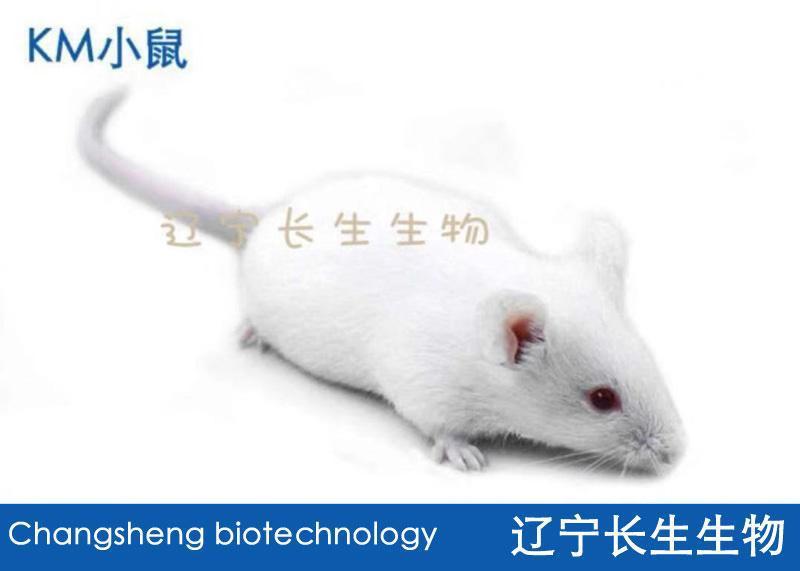 KM(昆明)小鼠