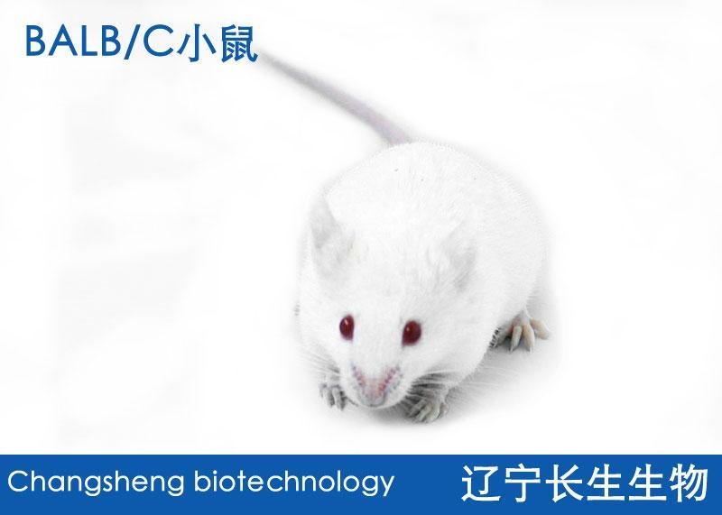 Balb/c小鼠