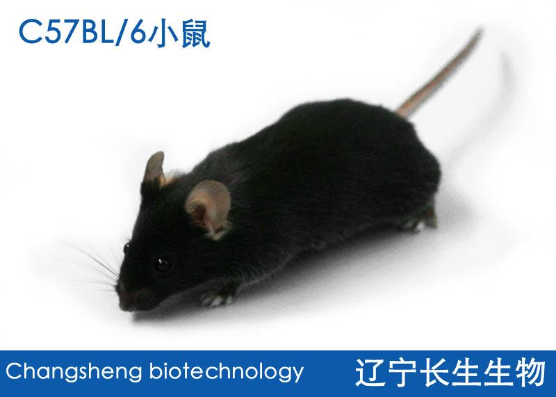C57BL/6J小鼠
