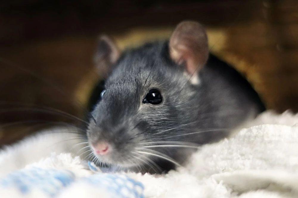 B-hIL17A小鼠