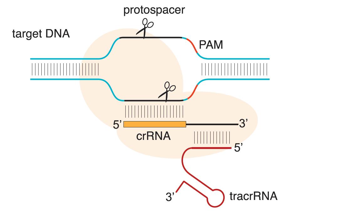 CRISPR-Cas9基因编辑产品