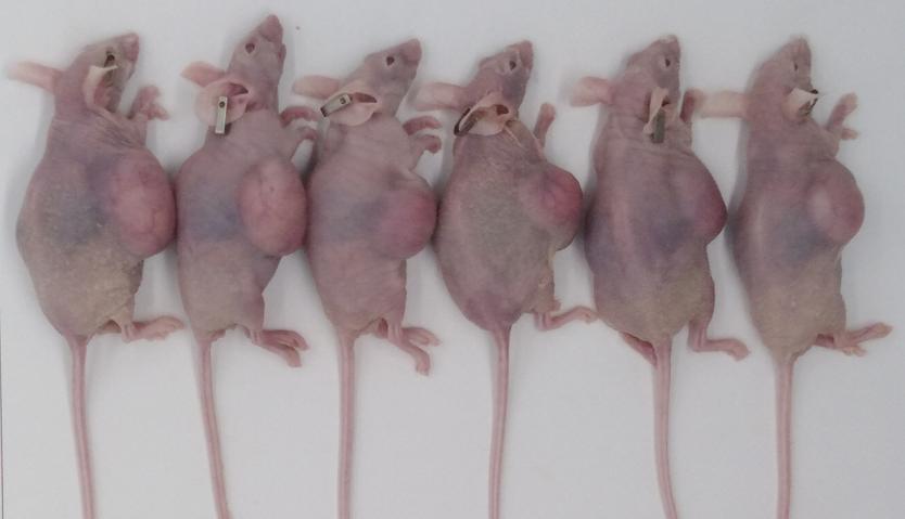 荷瘤鼠模型构建服务