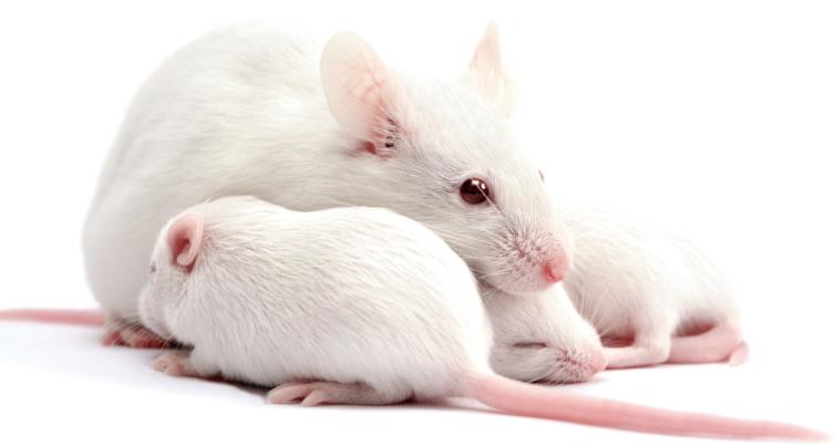 重度免疫缺陷小鼠