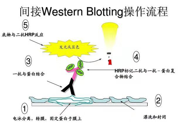 Western Blottting解决方案