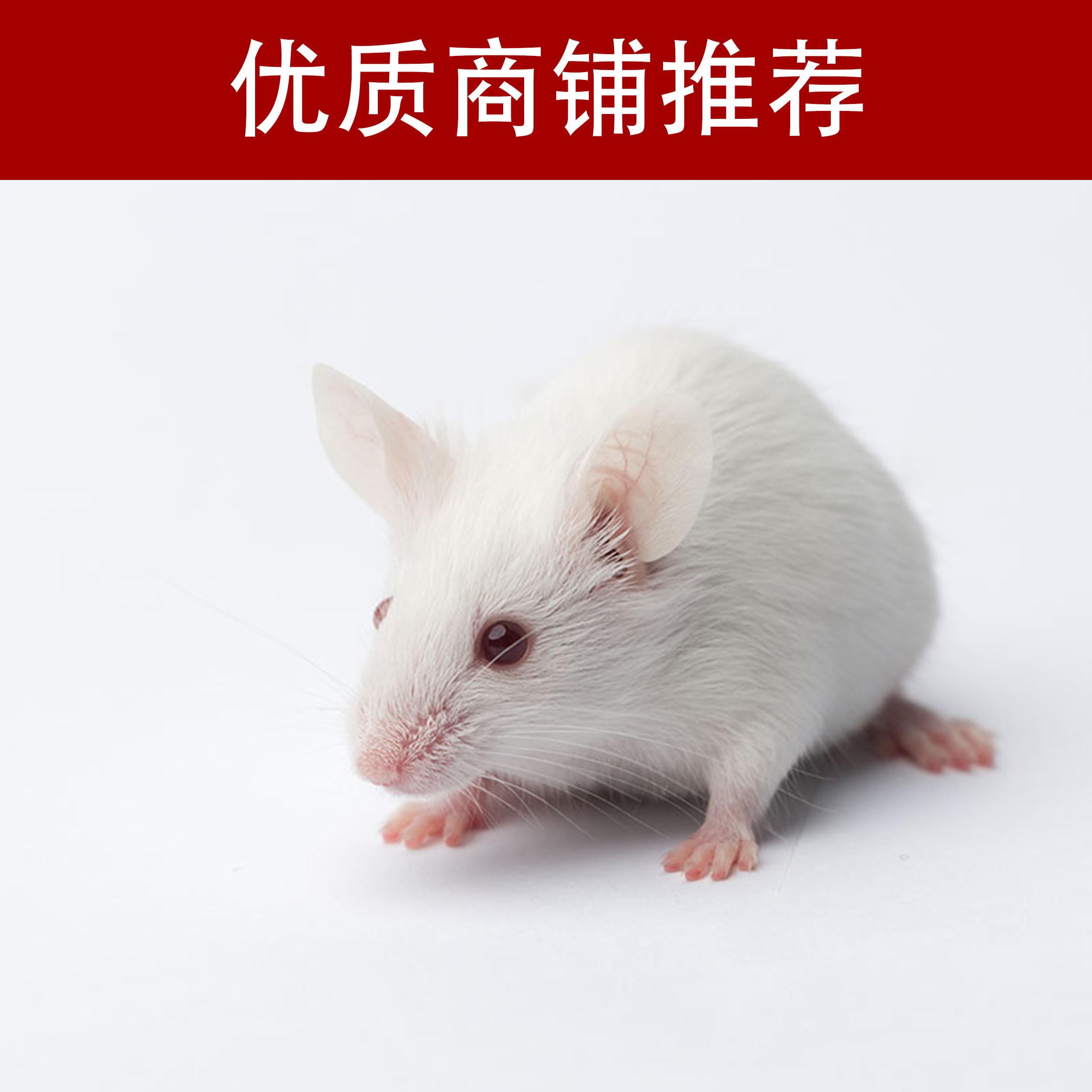 野百合碱诱导肺动脉高压动物模型制备